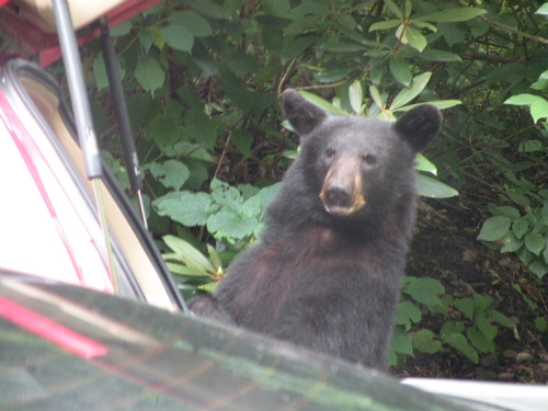 Bear_in_car
