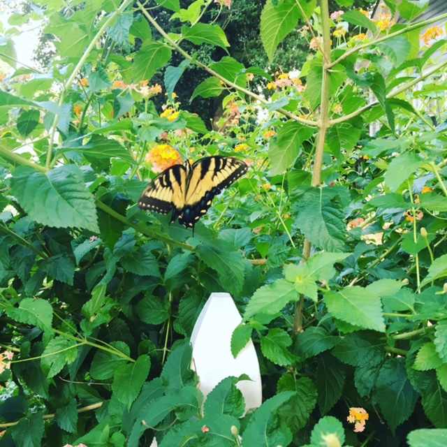 GDI - butterfly bush Friday tidbits