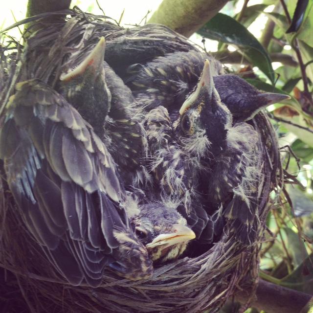 GDI - Fri baby birds