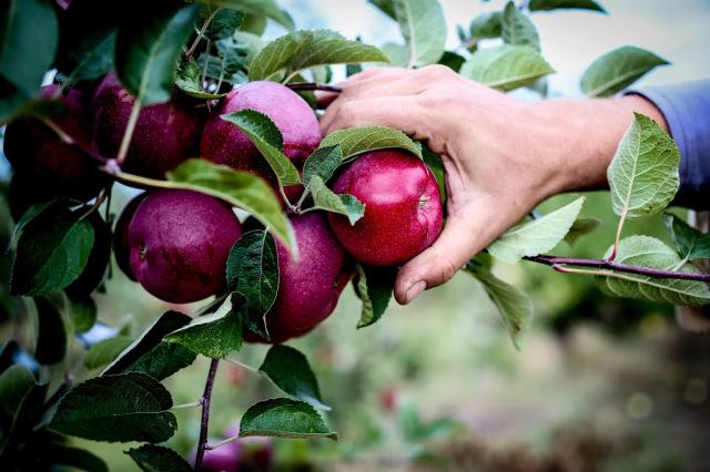 GDI - apple picking