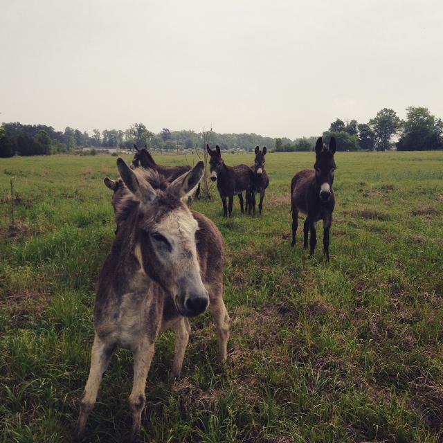 GDI - donkeys TX